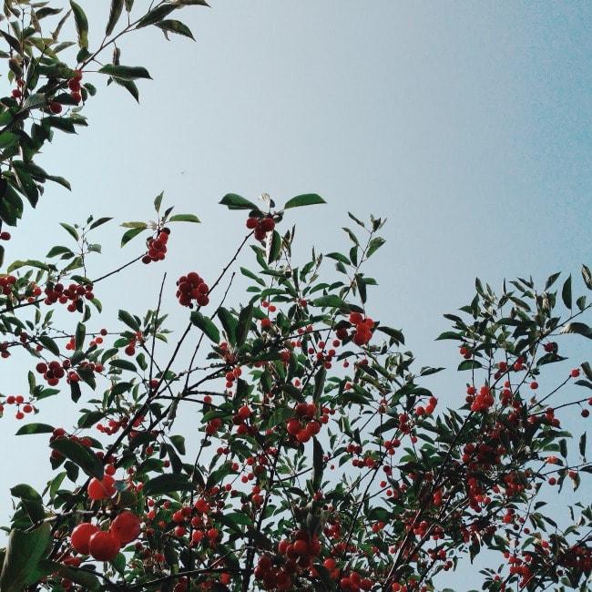 cherry tree | the vanilla bean blog